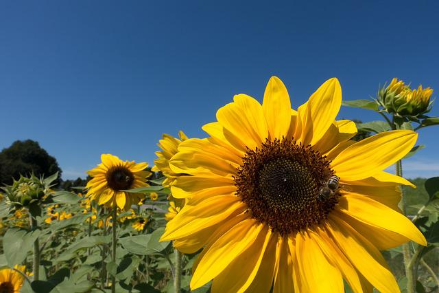 Sun Flower, Helianthus Annuus, Flower, Nature, Blossom