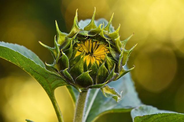 Sunflower, Plant, Flower, Helianthus Annuus, Perennial