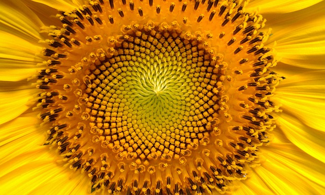 Sunflower, Flowers, Helianthus, Sun, Sunflowers, Yellow