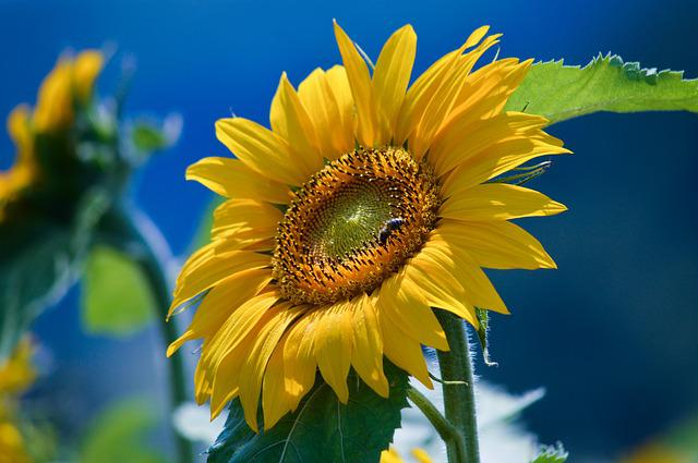 Sunflower, Helianthus, Flower, Yellow, Garden