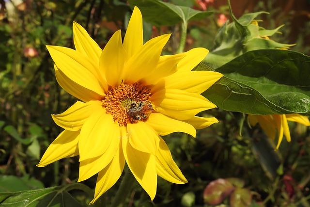 Sun Flower, Helianthus Jerusalem Artichokes, Blossom