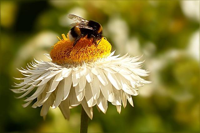 Flower, Italicum, Helichrysum, White Yellow, Insect