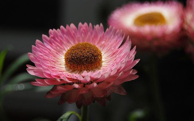 Helichrysum, Strawflower, Flowers, Pink, Plants