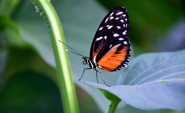 Golden Passion Flower Butterfly, Heliconius Hecale