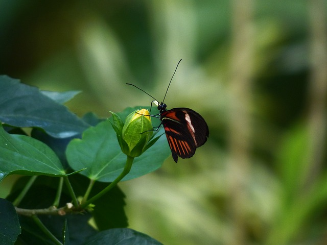 Butterfly, Passion Butterfly, Heliconius Melpomene