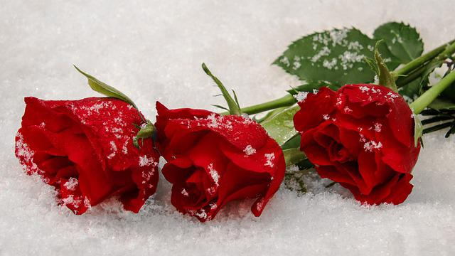 Winter Roses, Red Roses, Snow, Symbol, Hellebores