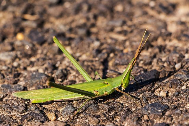 Mantis, Helmeted Locust, Acrida Hungarica, Insect