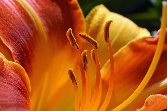 Daylily, Hemerocallis, Hemerocallidoideae, Stamens