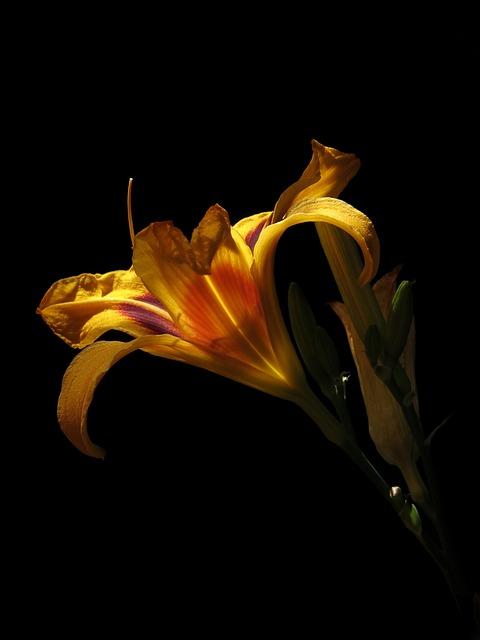 Daylily, Hemerocallis Bonanza, Yellow Orange, Blossom