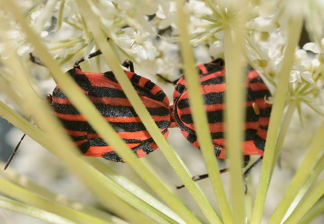Hemiptera, Bedbugs, Graphosoma, Italicum