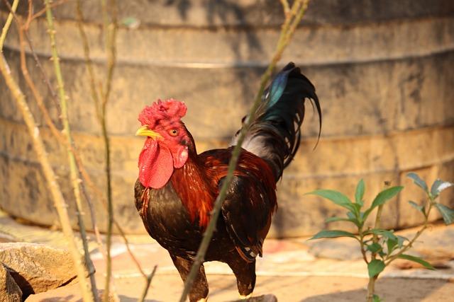 Hen, Kerala, Poultry, Chick, Male, Chicken, Chicks