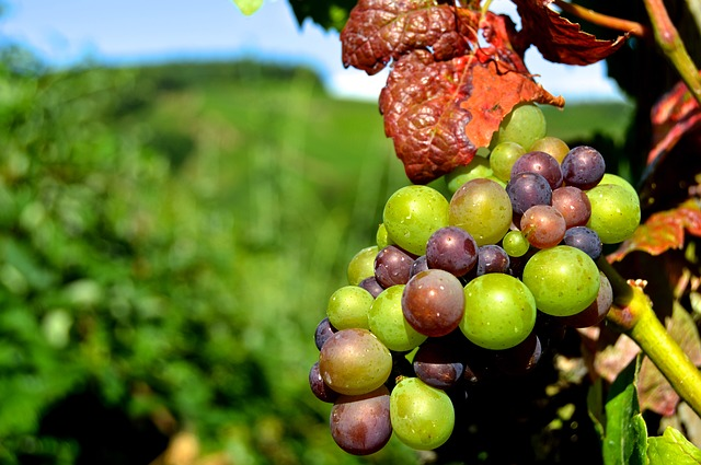 Rebstock, Grapes, Henkel, Grape, Close, Vine, Vineyard