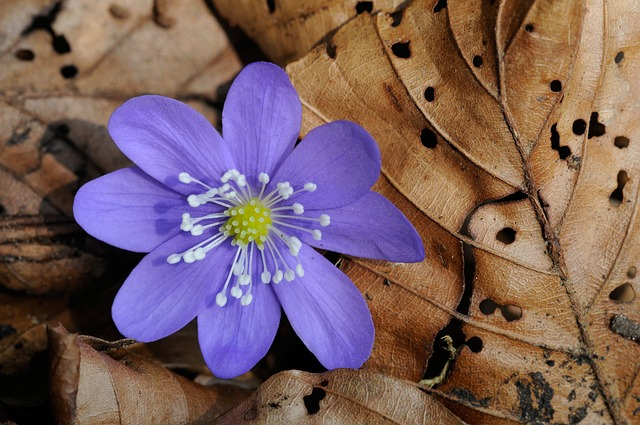 Hepatica, Forest Flower, Spring