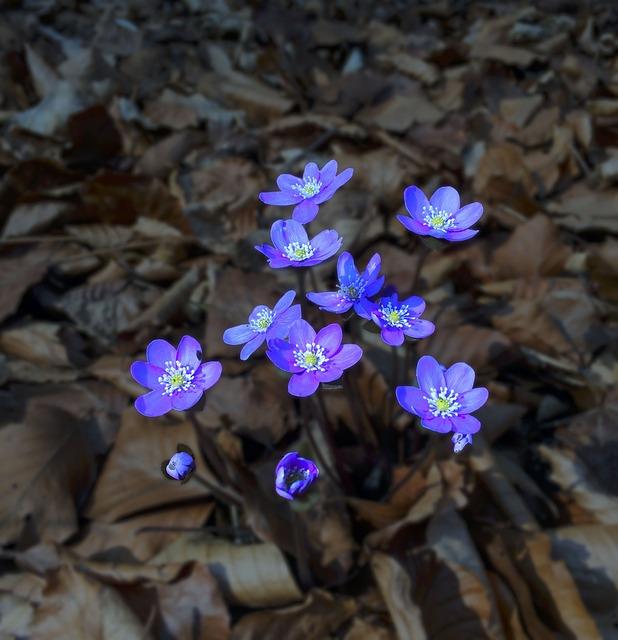 Hepatica, Blue, Leaves, Flower, Liver Flower