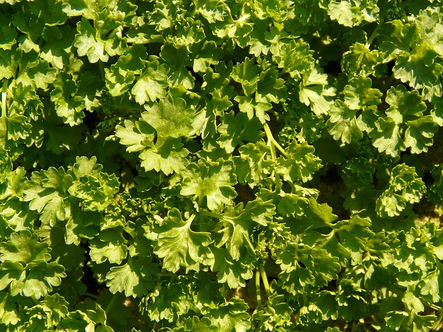 Parsley, Kitchen Herb, Green Soup, Green, Herb, Plant