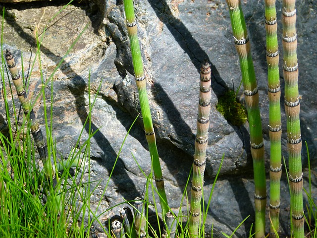 Scouring Rush, Horsetail, Plant, Rock, Nature, Herb