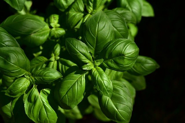Basil, Herb, Kitchen Herb, Spice, Cook, Green, Plant