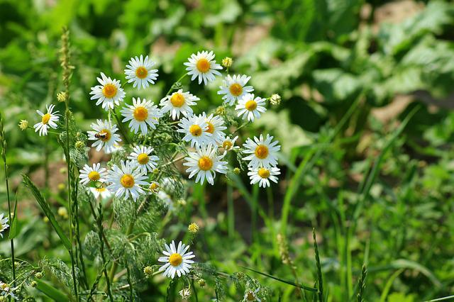 Chamomile, Herb, Wildflowers, Meadow Plant