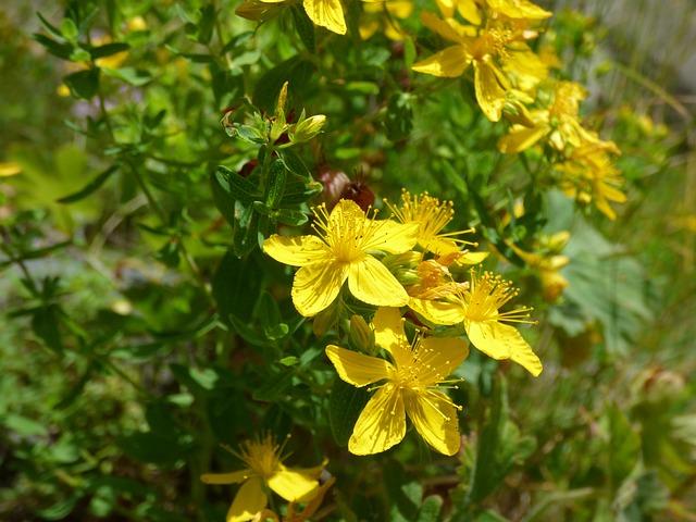 St John's Wort, Herb, Mountain Flower, Mountain, Yellow