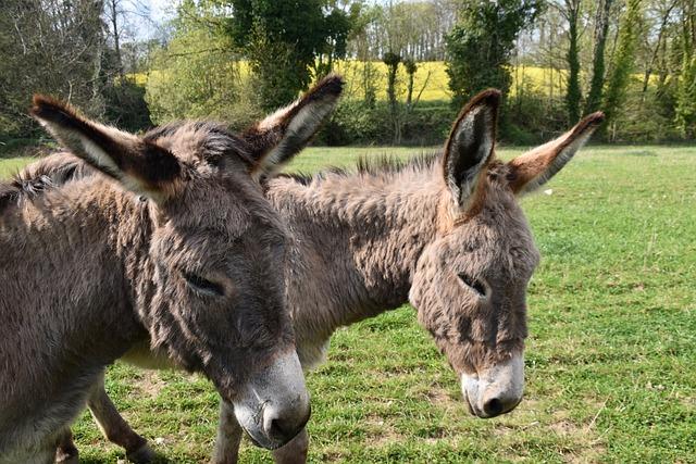 Donkeys, Equines, Herbivores, Ass Gutter, Gray Donkey