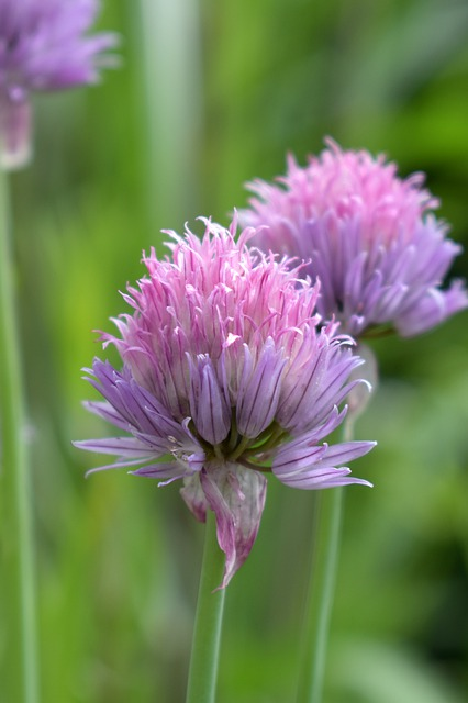 Chives, Blossom, Bloom, Herbs, Chives Blossom