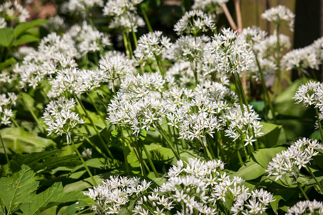 Bear's Garlic, Flowers, Herbs, Wild Plant, Bloom