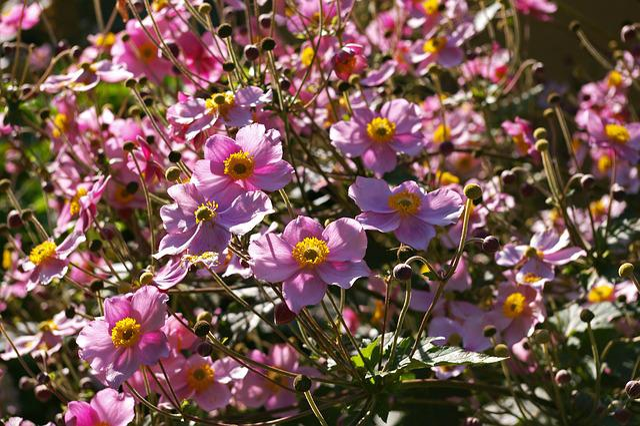 Herbstannemone, Annemone, Plant, Bud, Nature, Garden