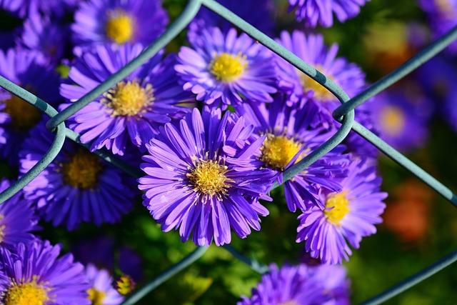 Herbstastern, Autumn Flowers, Garden, Blossom, Bloom