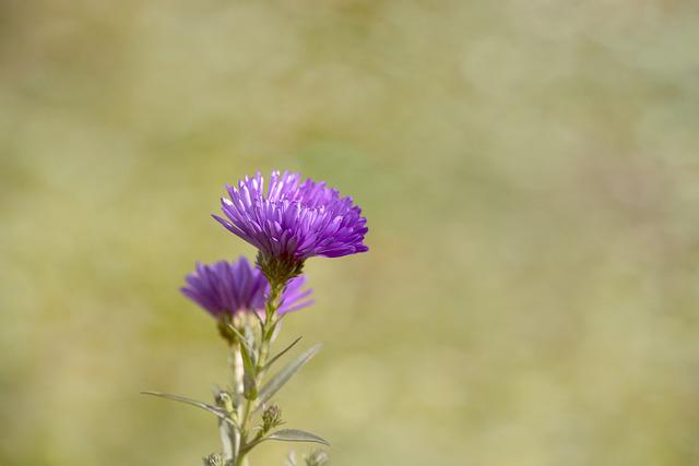 Asters, Herbstastern, Fall Asters, Symphyotrichum