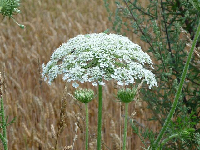 Hercules Herb, Giant Hogweed, Hogweed