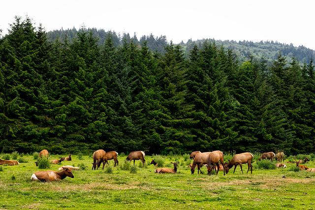 Roosevelt Elk, Herd, Animals, Wildlife, California
