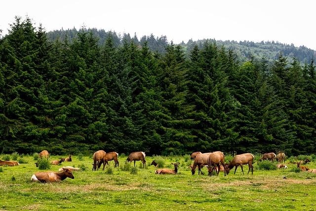 Roosevelt Elk, Herd, Animals, Wildlife, California