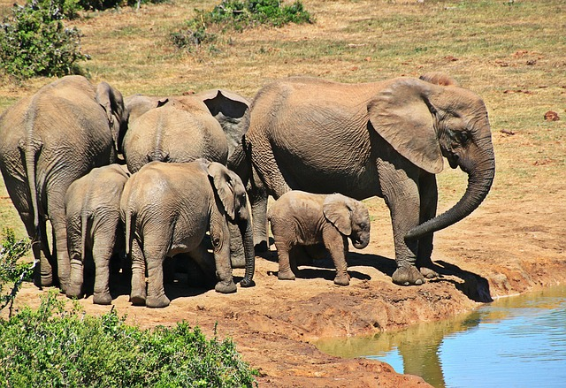 Elephant, Animal, Herd Of Elephants, Elephant Family