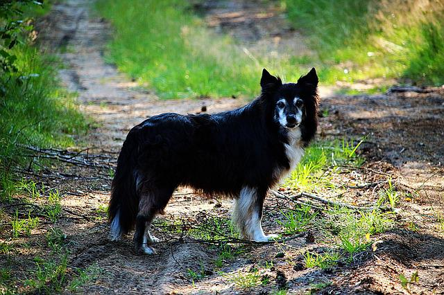Dog, Border, Border Collie, Purebred Dog, Herding Dog