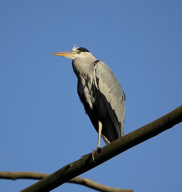 Grey Heron, Ardea Cinerea, Heron, Bird, Animal, Grey