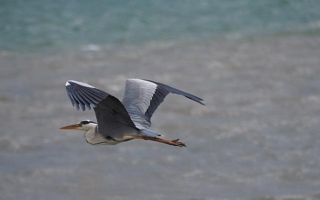 Nature, Fauna, Birds, Heron, Flight