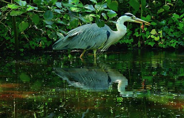 Heron, Wading Bird, Animal, Prey, Catch, Feeding, Pond