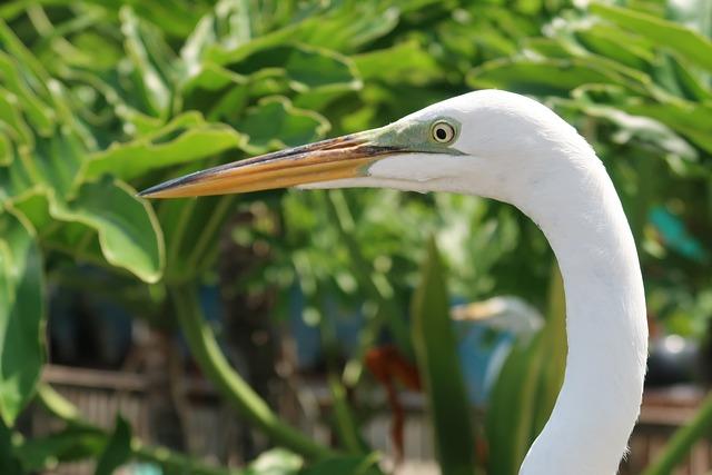 The Great Egret, Egret, Heron, Beak, Ardea Alba