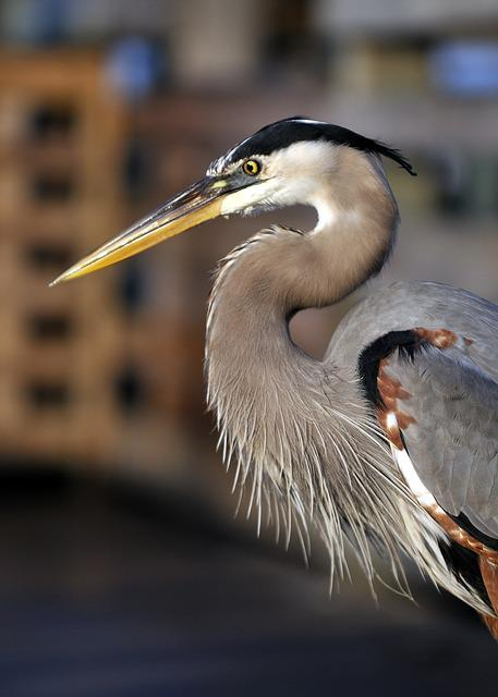 Heron, Bird, Florida, Feathers