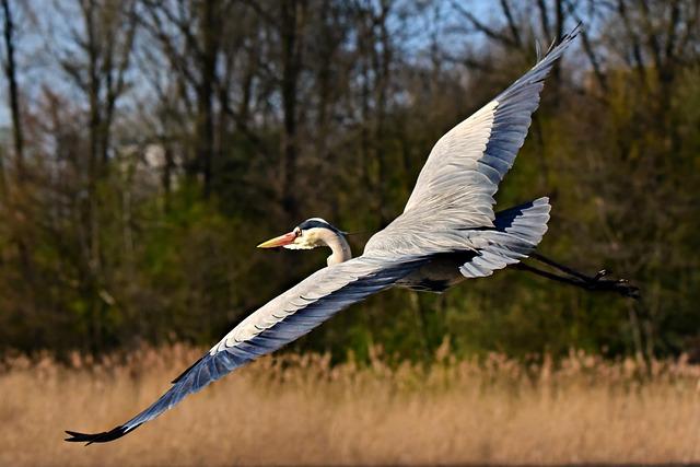 Heron, Wading Bird, Animal, Flight, Flying, Wing