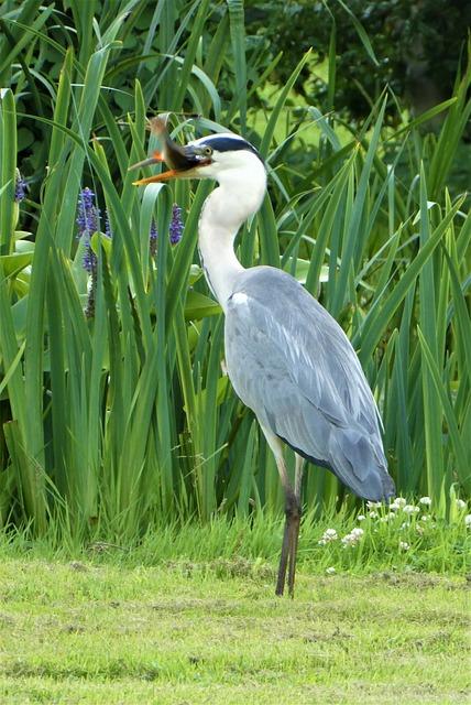 Heron, Grey Heron, Fish, Catch, Head, Beak, Feathers