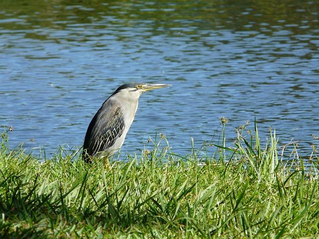 Heron, Water's Edge, Mauritius, Animal, Nature