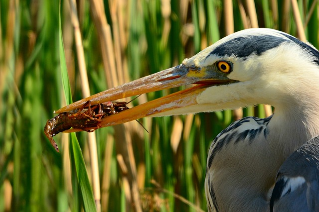 Heron, Wading Bird, Animal, Prey, Catch, Crayfish