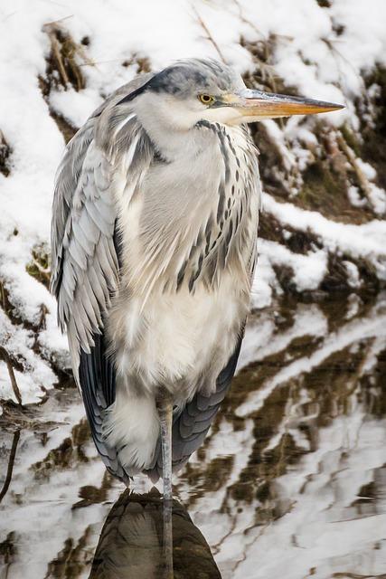 Heron, Grey Heron, Fish Eater, Bird, Plumage, Water