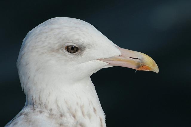 Herring Gull, Larus Argentatus, Laridae, Gulls, Animal