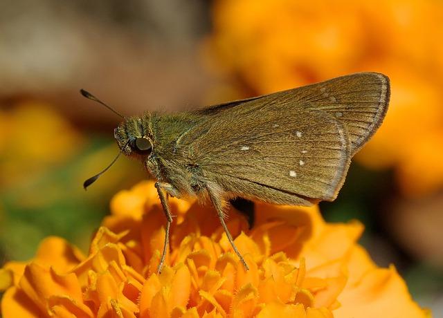 Skipper, Butterfly, Pelopidas Mathias, Hesperioidea