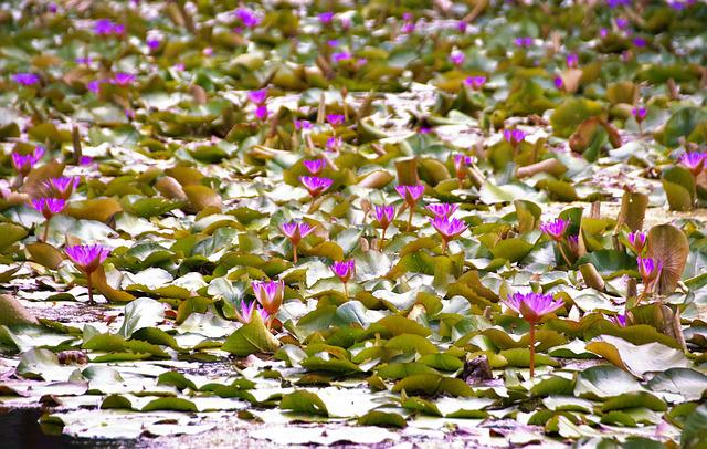 Waterlily, Water-plant, Hevíz, Thermal Water