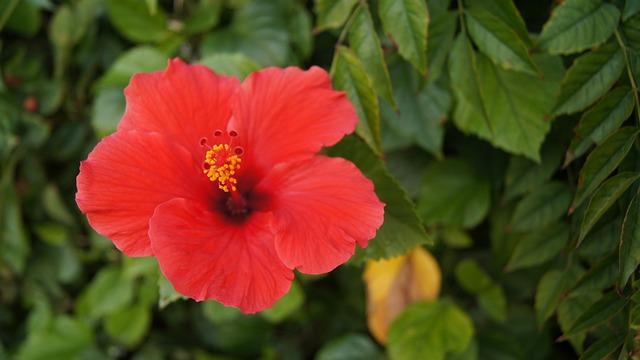 Flower, Hibiscus, Pink Flower, Summer, Chinese Hibiscus