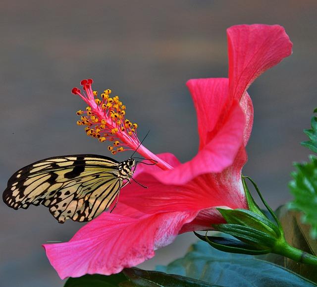 Hibiscus Flower, Red, Pistil, Butterfly