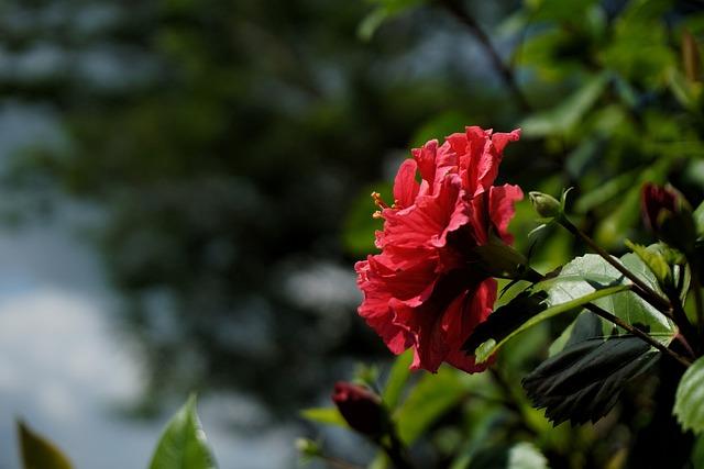 Flower, Hibiscus, Red, Macro